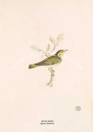 WOOD WREN - Sylvia Sibilatrix